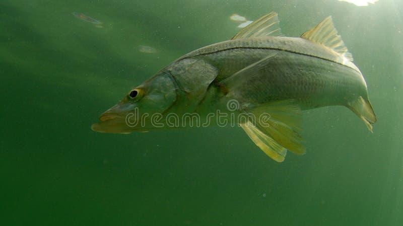 Snook fish swimming in ocean stock image