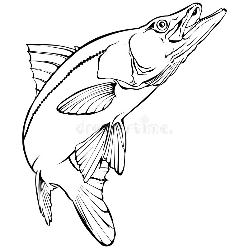 Snook Illustration. Snook (Cenctropomus unidecimalis) Illustration in monochrome stock illustration