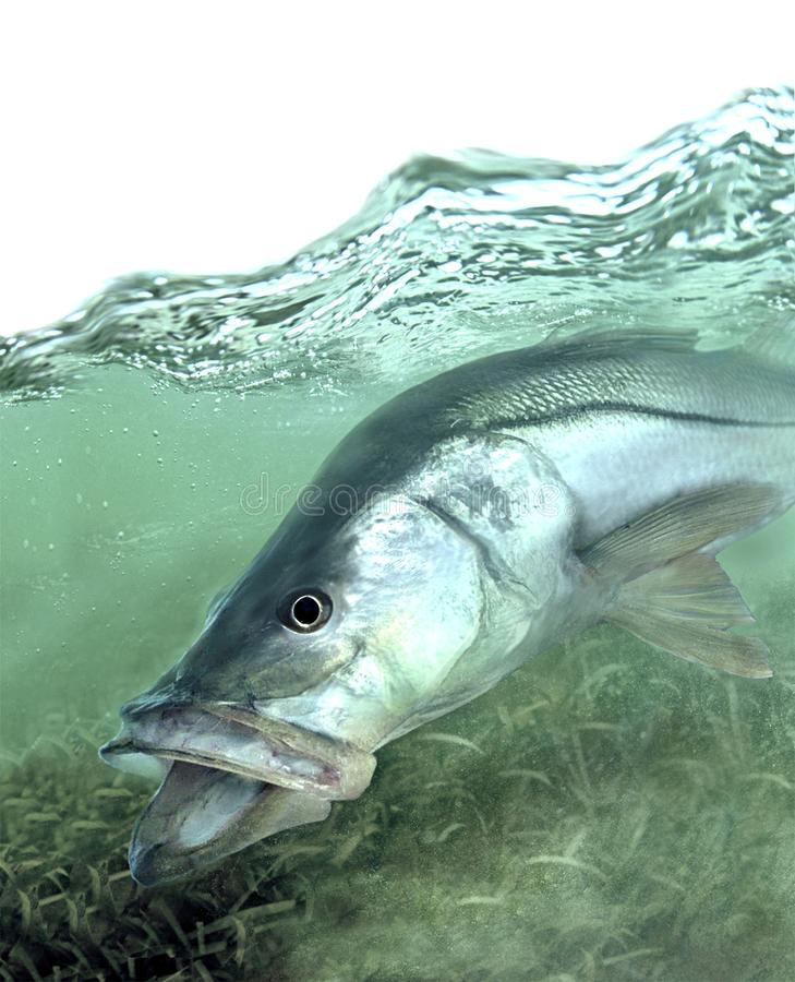 Snook fish searching shallows for food royalty free stock image