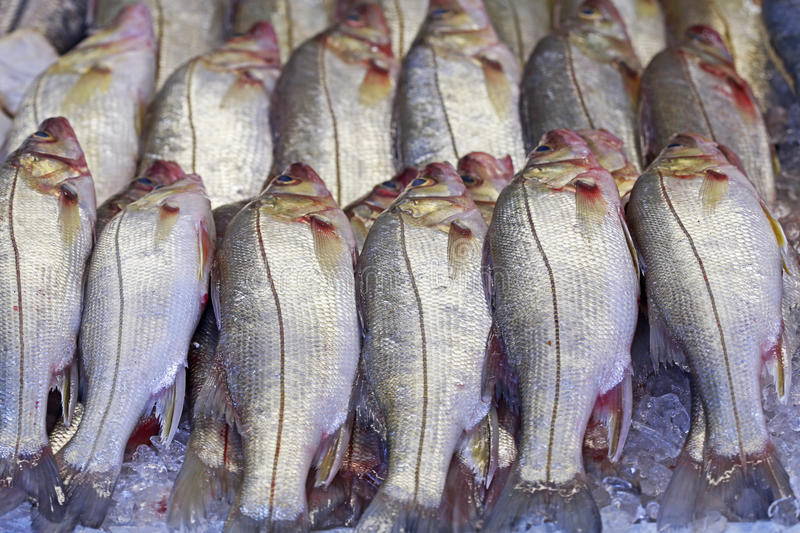 Snook or robalo exposed in fish market. SANTOS, SP, BRAZIL - JULY 18, 2015 - Snook or robalo exposed in fish market for sale to the consumer stock photos