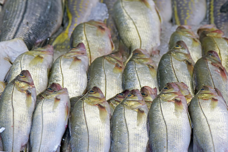 Snook or robalo exposed in fish market. SANTOS, SP, BRAZIL - JULY 18, 2015 - Snook or robalo exposed in fish market for sale to the consumer stock photography