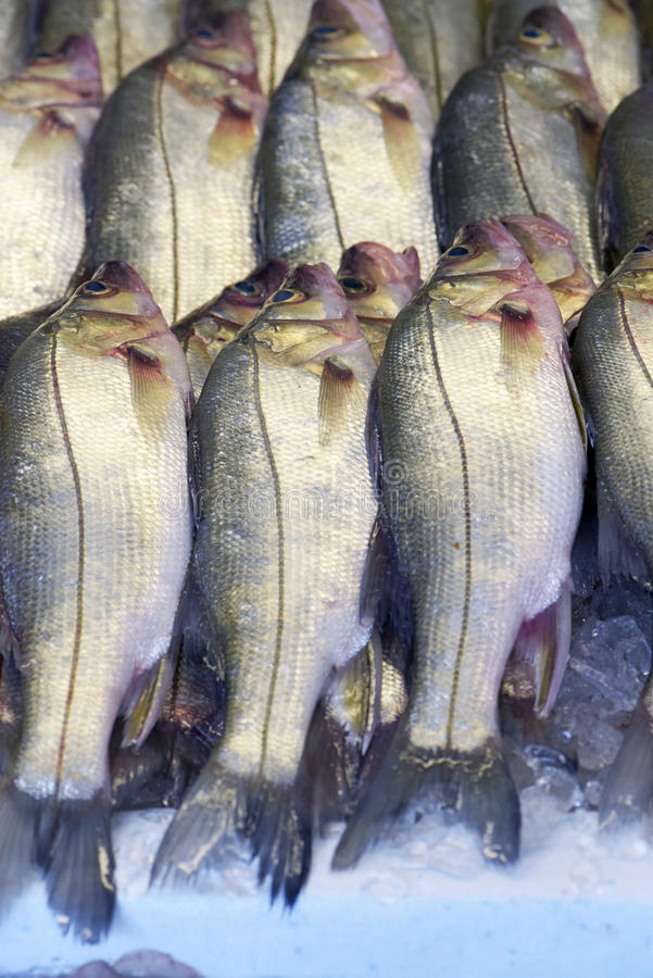 Snook or robalo exposed in fish market. SANTOS, SP, BRAZIL - JULY 18, 2015 - Snook or robalo exposed in fish market for sale to the consumer stock image