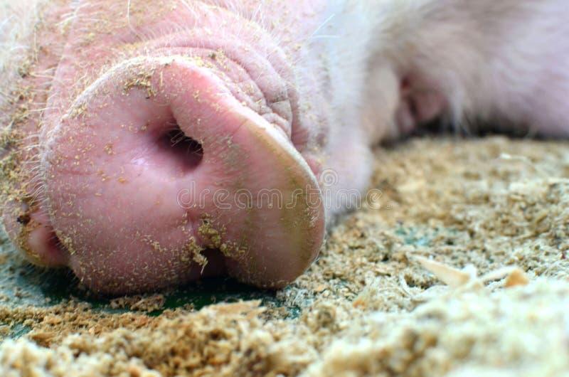 Snoot de um grande fim do porco acima Mãe do porco um sono na exploração agrícola da criação de animais do porco no negócio dos s foto de stock