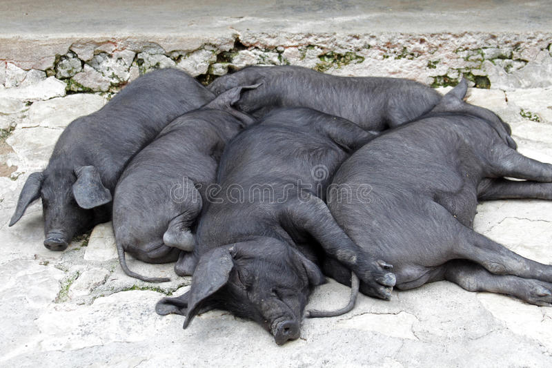 Snoozing Bunch Of Black Iberian Pigs Stock Images