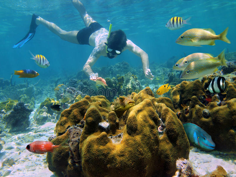 Snorkeler que olha um starfish em um recife coral fotografia de stock royalty free
