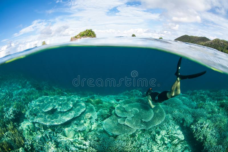 Snorkeler and Shallow Coral Reef in Raja Ampat. A snorkeler explores a shallow coral reef in Raja Ampat. This tropical region is known as the heart of the Coral royalty free stock photo