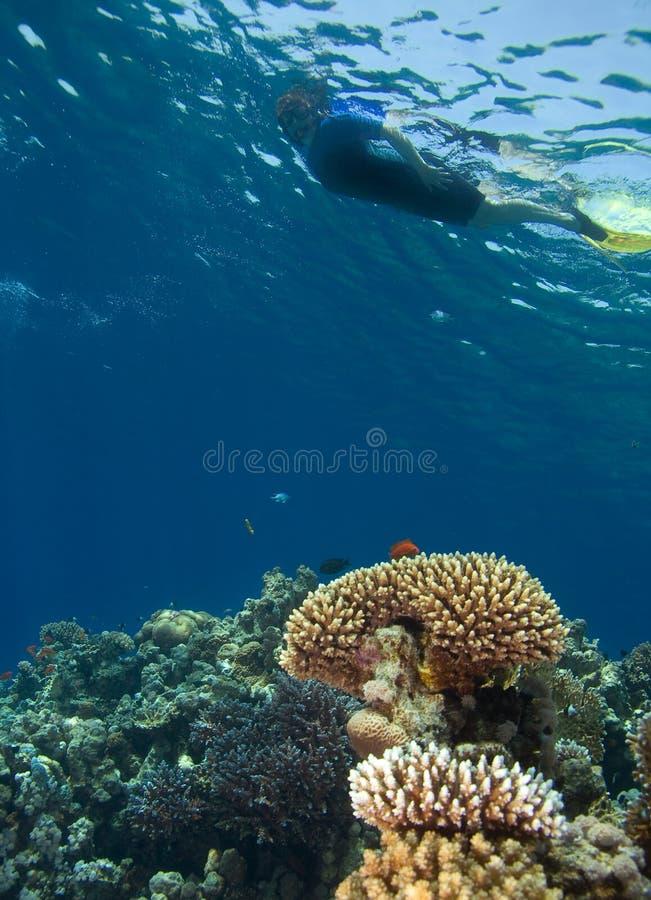 snorkeling стоковые изображения rf