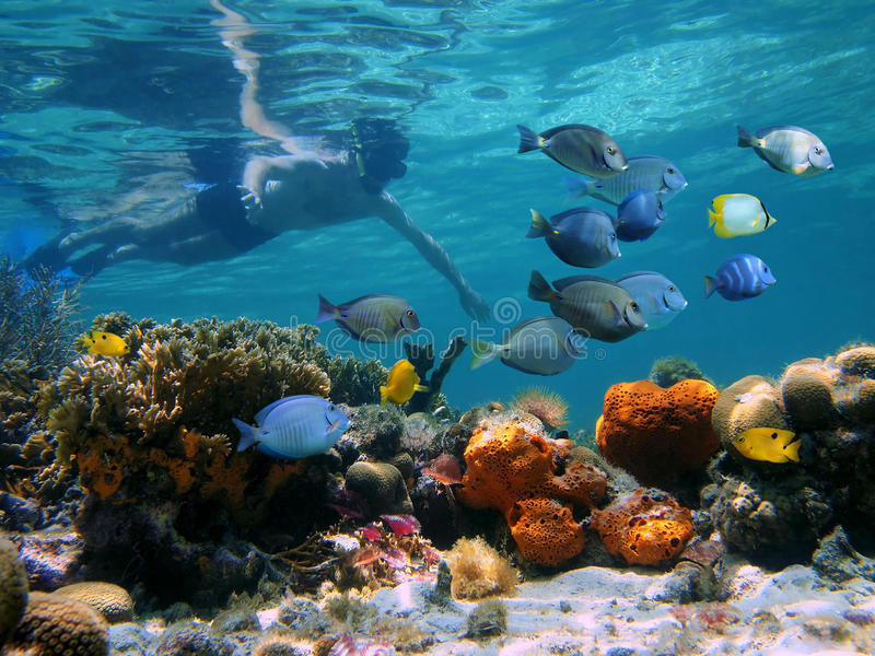 Snorkeling in a coral reef. Snorkeler over a coral reef with school of tropical fish in front of him