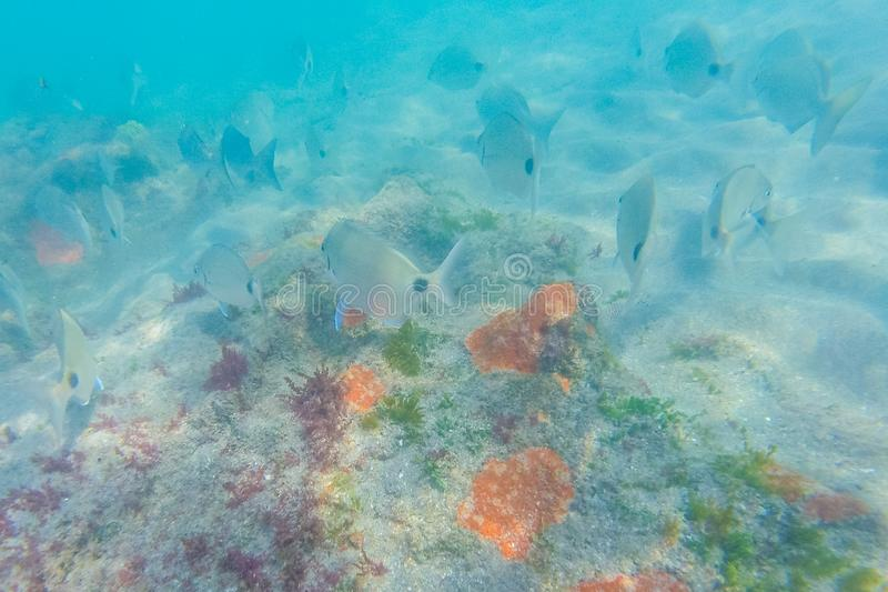 Snorkeling at a coral reef royalty free stock photo