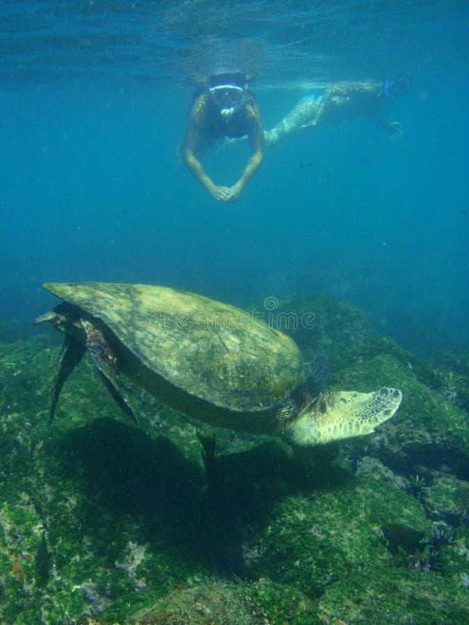 snorkeling sköldpaddor för hav arkivbilder