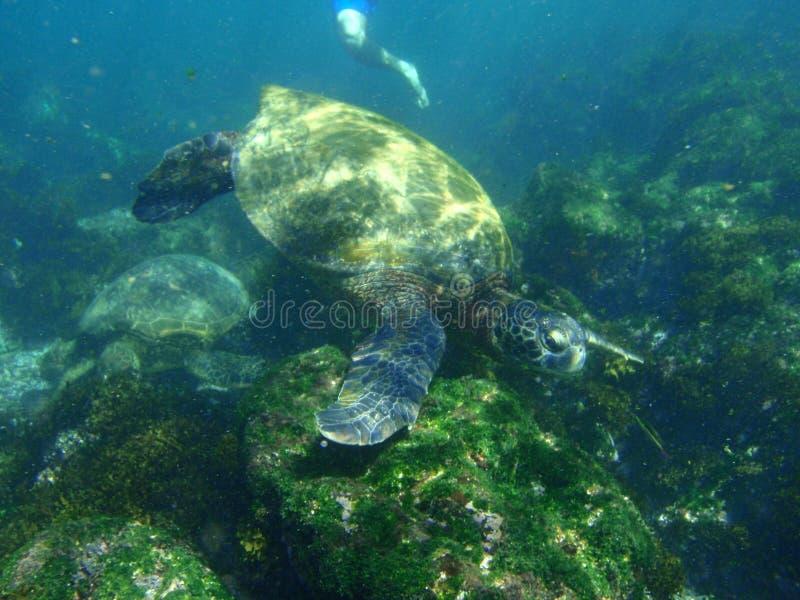 snorkeling sköldpaddor för hav fotografering för bildbyråer