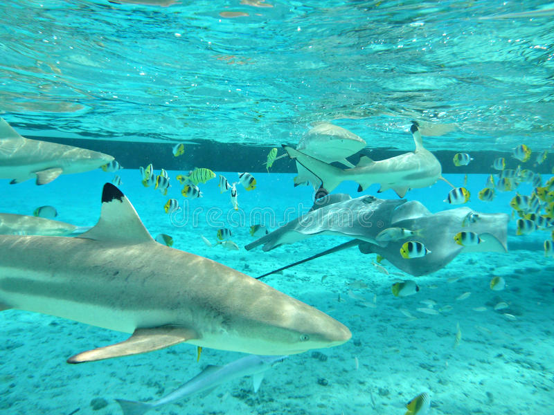 Snorkeling with tropical sharks and stingrays royalty free stock photos