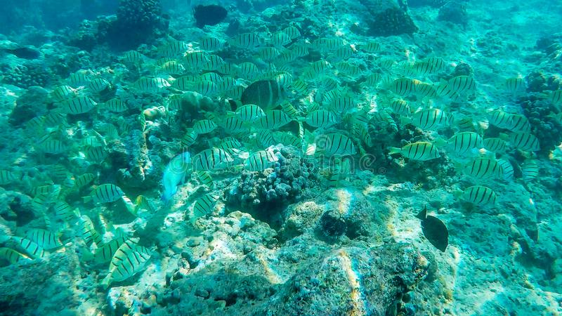 Norkeller follows a school of convict tangs at hanauma bay, hawaii stock image