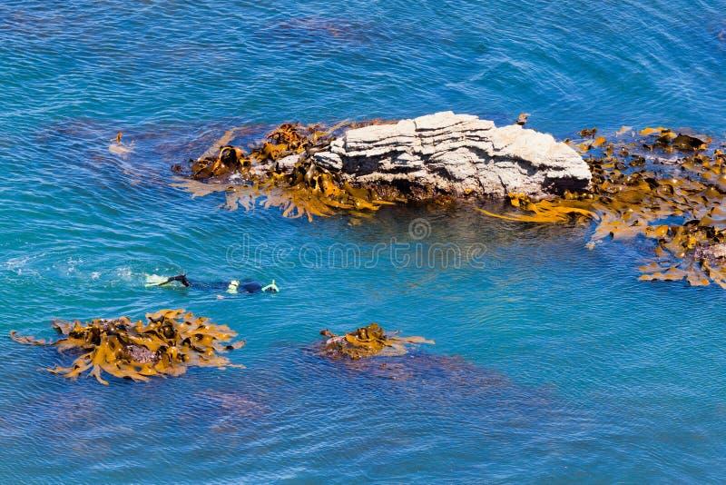 Snorkeller in oceano fra le rocce ed il kelp del toro immagine stock