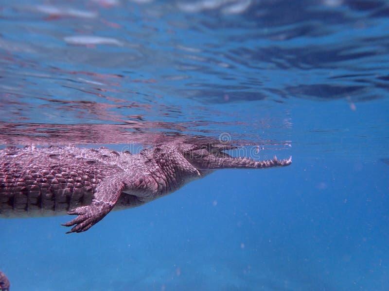 Snorkelling an American crocodile in Cuba. Snorkelling with a beautiful 1.5m long American crocodile is less dangerous than you might imagine in Jardin de la royalty free stock photos