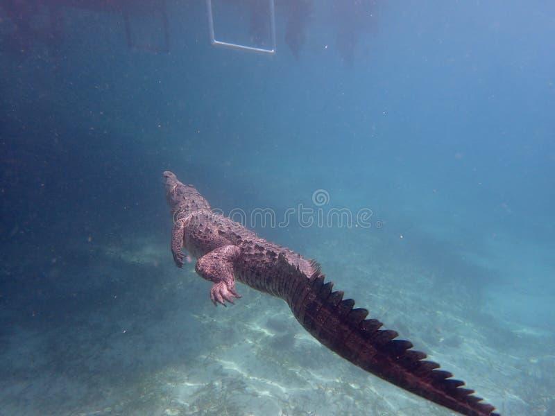 Snorkelling an American crocodile in Cuba. Snorkelling with a beautiful 1.5m long American crocodile is less dangerous than you might imagine in Jardin de la stock photos
