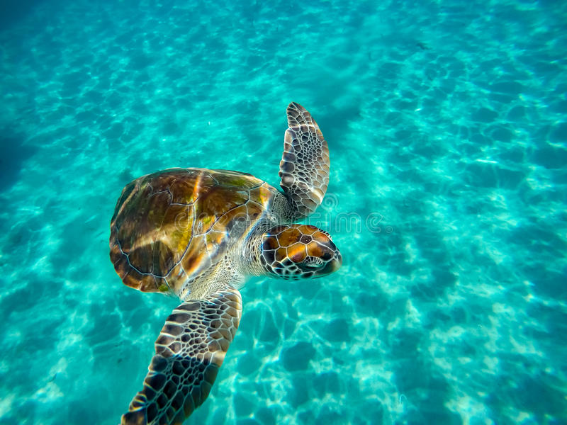 Snorkelling with turtles stock photography