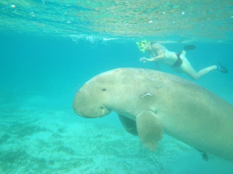 Snorkla med havsdjur royaltyfri fotografi