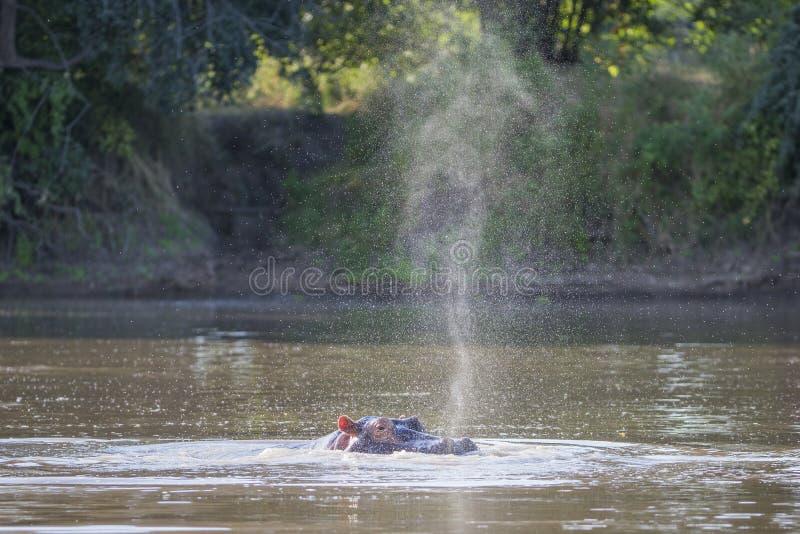 Snort del hipopótamo fotografía de archivo libre de regalías