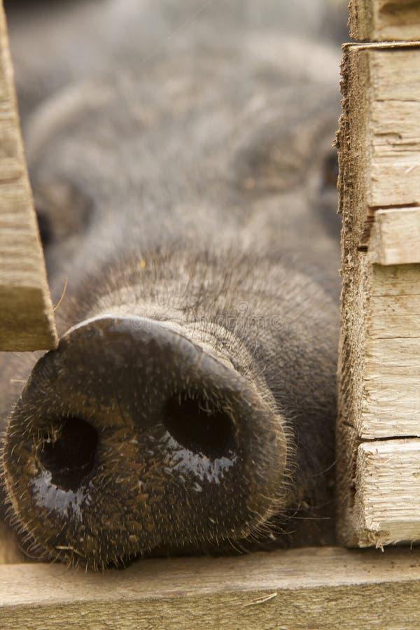 snout fotografering för bildbyråer