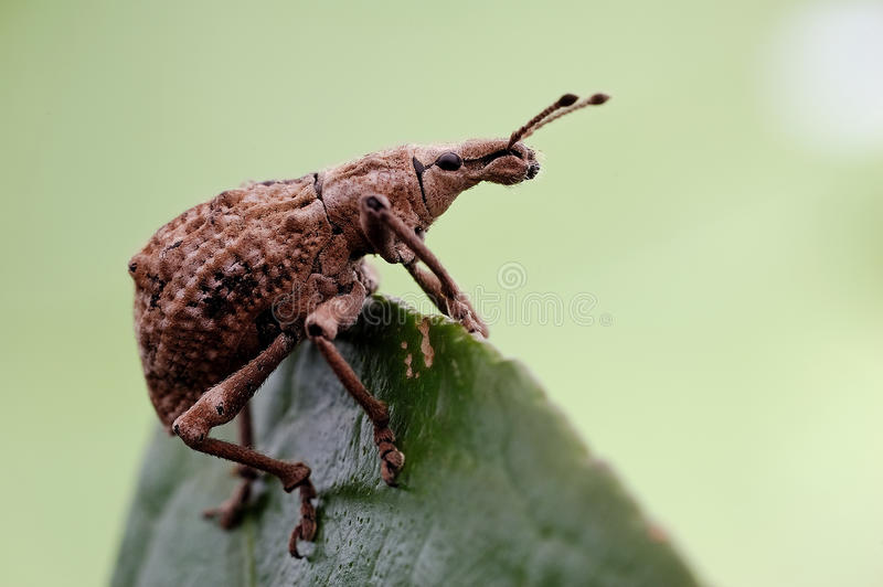 Download Snout beetle stock image. Image of coleoptera, insects - 28598481