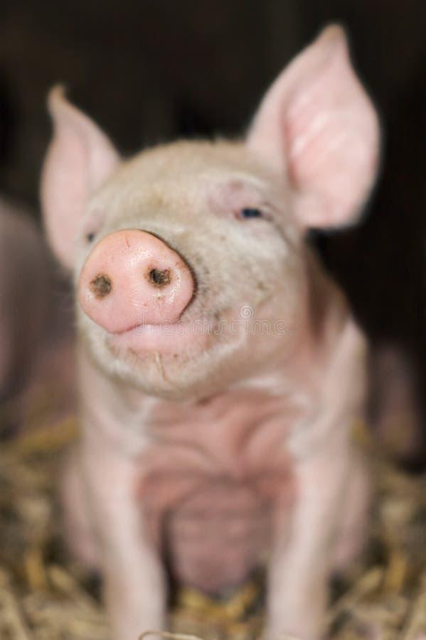 Snout bonito do porco imagens de stock