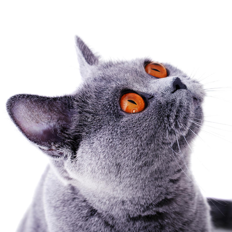Snout of british cat with dark yellow eyes. Isolated on white stock images