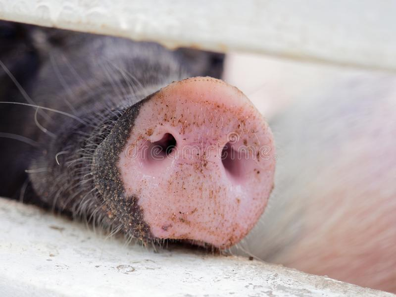 Snout or nose of a pig sticking through a fence smelling and sniffing for food stock image