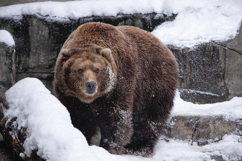 Download Snow Bear stock photo. Image of surefooted, climb, white - 12145020