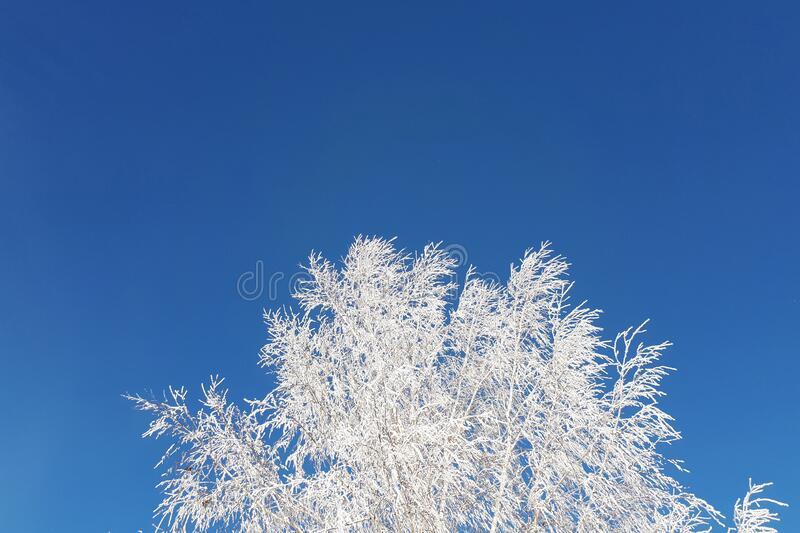 Snow birch on a clear day. Against a bright blue sky. Trees in frosty hoarfrost stock image