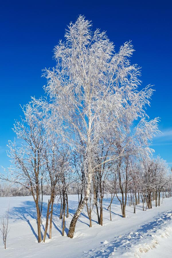 Snow birch on a clear day. Against a bright blue sky. Trees in frosty hoarfrost stock images