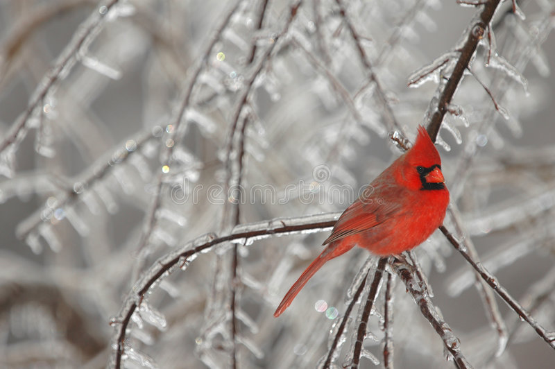 Snow Bird. A brightly colored male northern cardinal photographed on a cold winter day