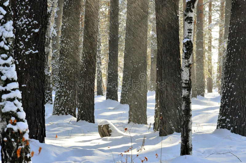 `Snow blind`. Snow showered from the trees. Illuminated by the sun. The wind. February royalty free stock photography