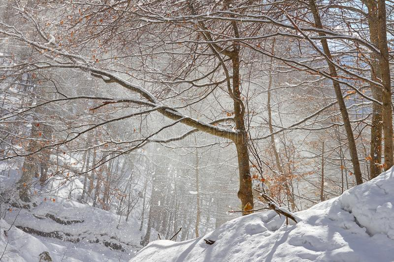 Snow blown by wind from tree branches on a warm, sunny day in the Carpathian mountains, Romania, during a hiking trip.  royalty free stock photo