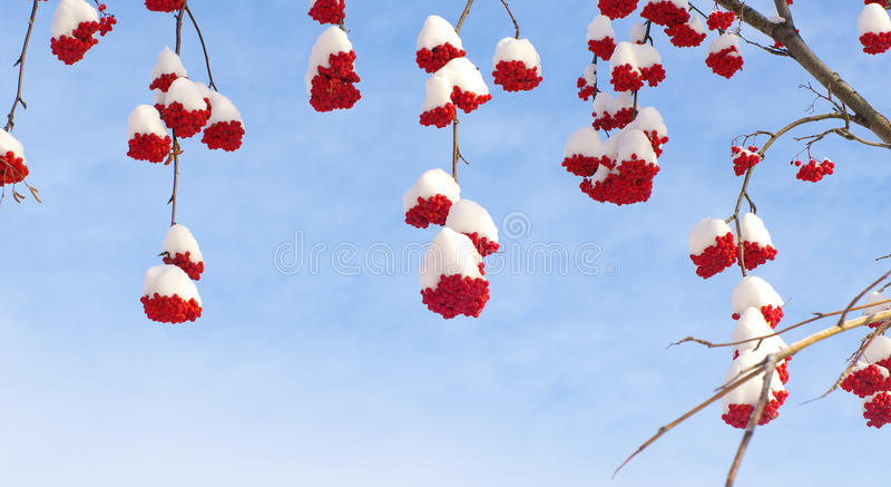 Download Snow-bound Rowan Berry On Blue Stock Images - Image: 14458904