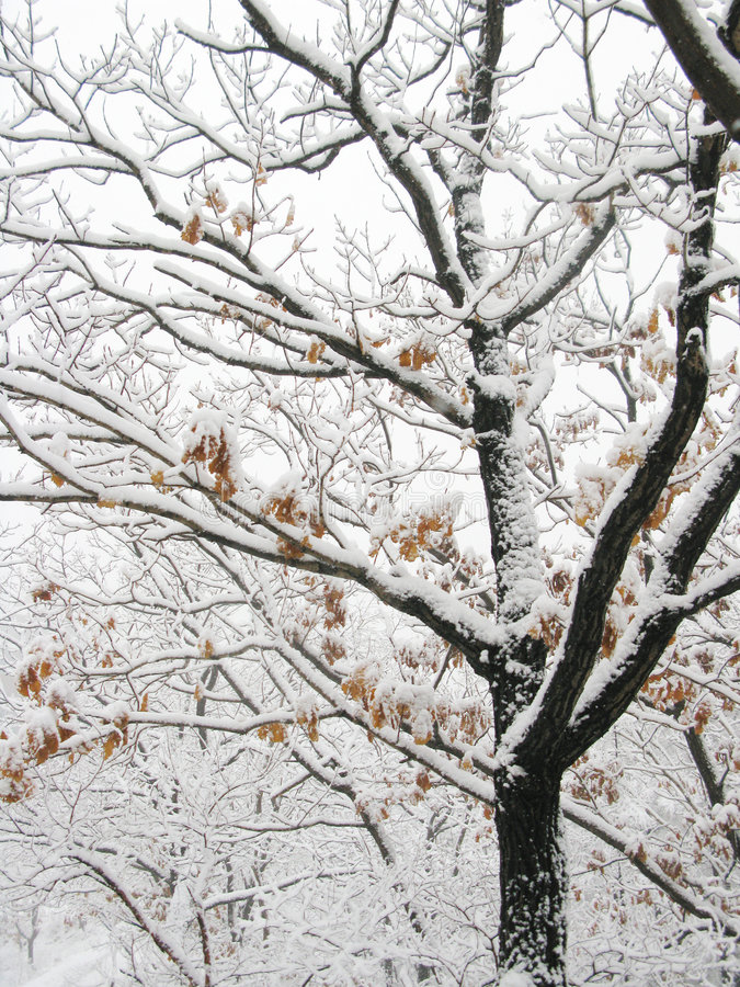 Snow branch royalty free stock photo