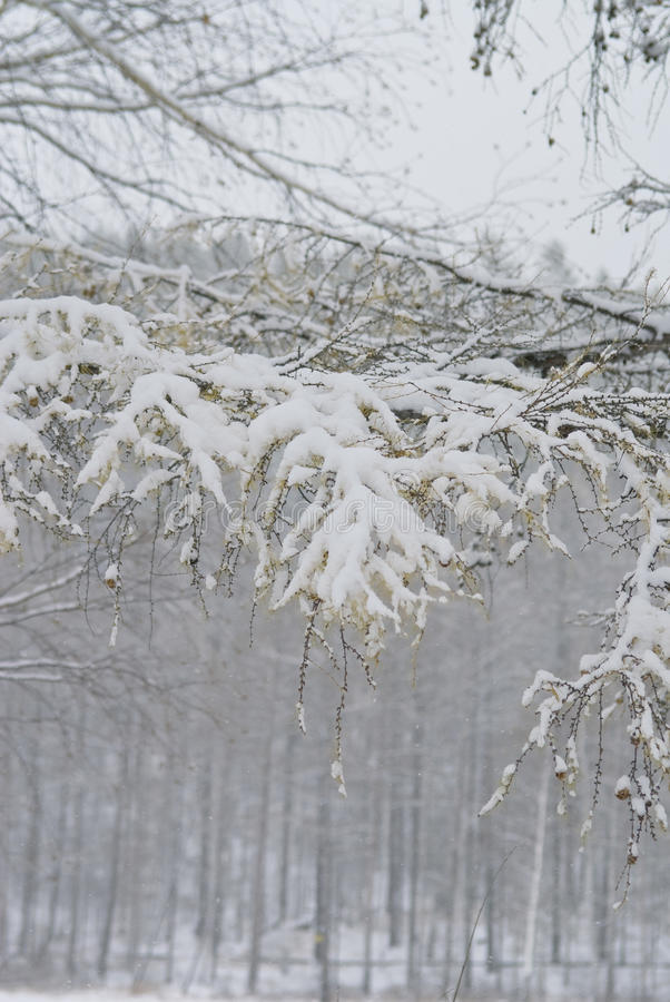 Download Snow On A Branch Of A Larch Stock Image - Image of season, silvery: 16949081