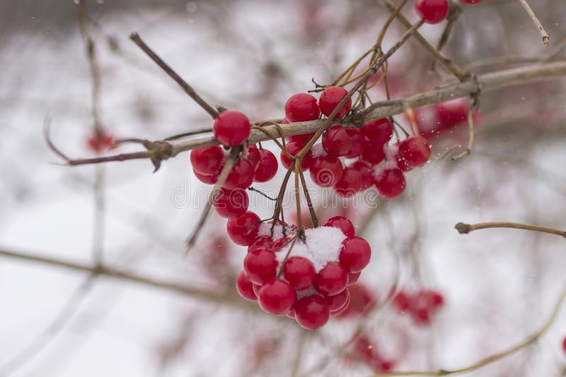 Snow on a branch of red viburnum close-up stock image