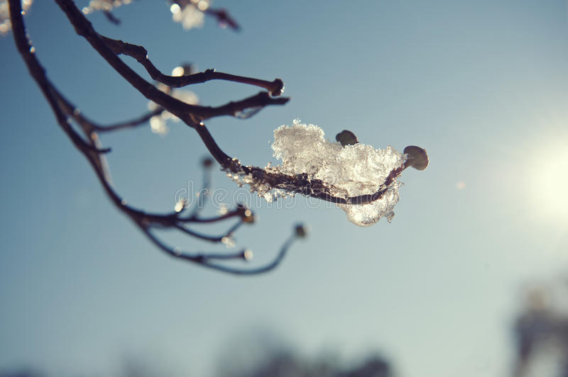 Snow on branch royalty free stock photo