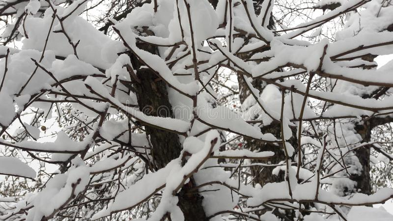 Snow on a branch. Winter landscape. Snow covered winter branches royalty free stock images
