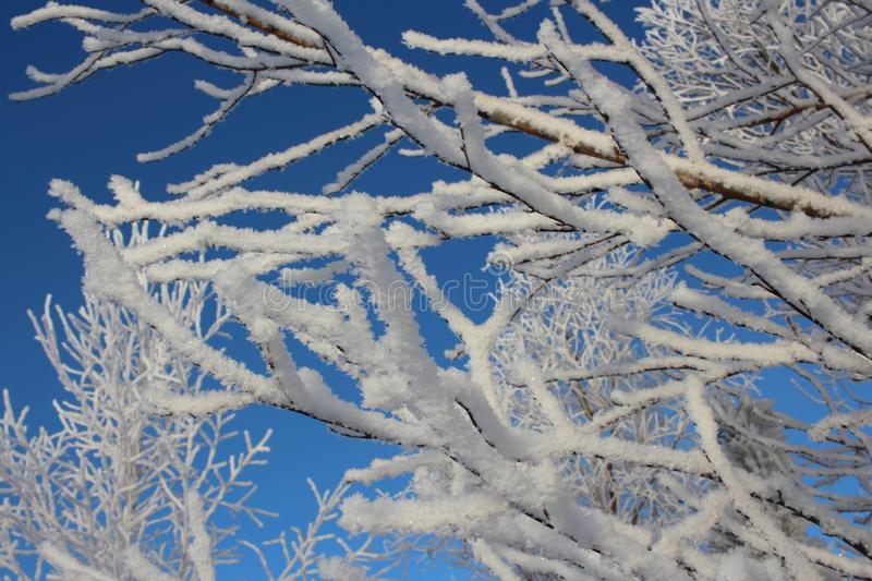Snow on the branches of a tree. White fluffy sparkling snow lying on tree branches winter nature crystal ice snowflakes royalty free stock photos