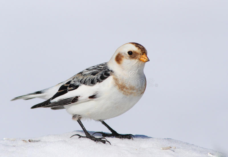 Download Snow Bunting Royalty Free Stock Image - Image: 18730966