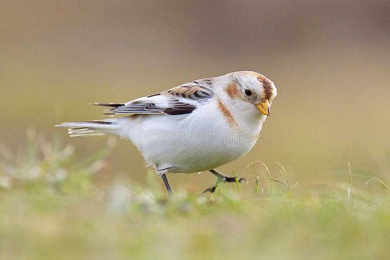 A Snow Bunting feeding. A Snow Bunting, Plectrophenax nivalis, feeding on a grassy bank royalty free stock photography