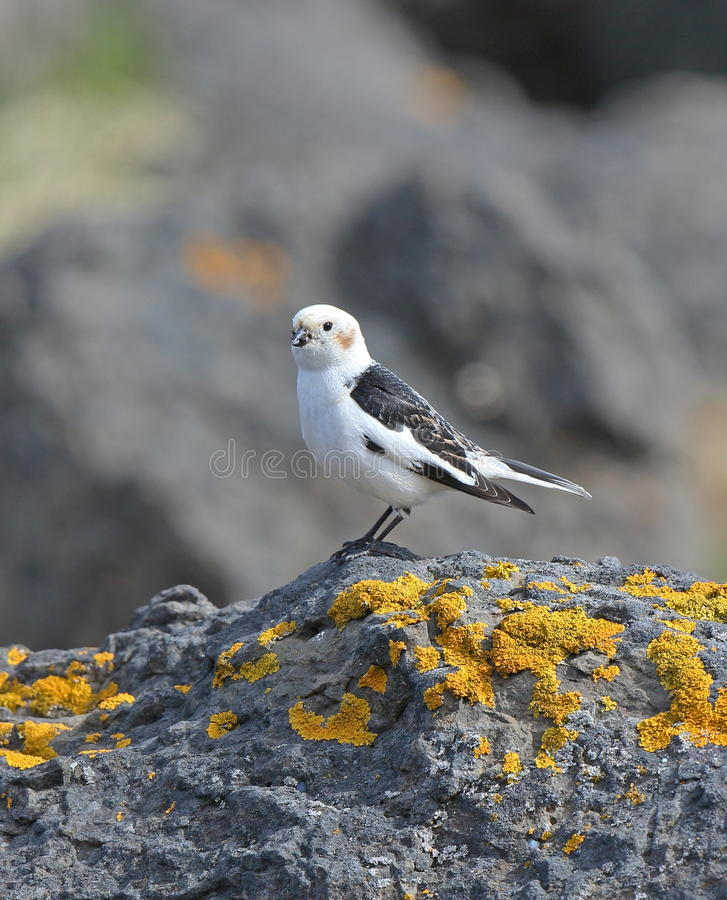 Snow Bunting. Male Snow Bunting,Flatey Island,Iceland royalty free stock images