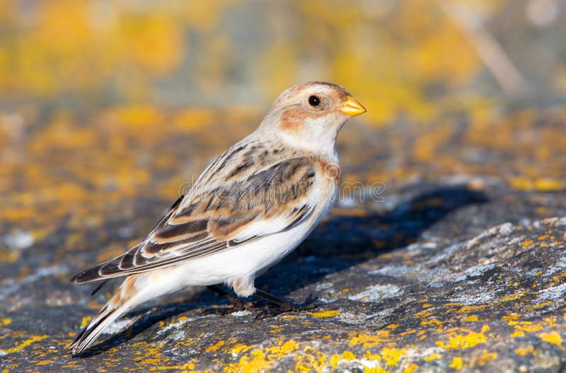 Snow Bunting, male in winter plumage. Victoria, Canada stock photos