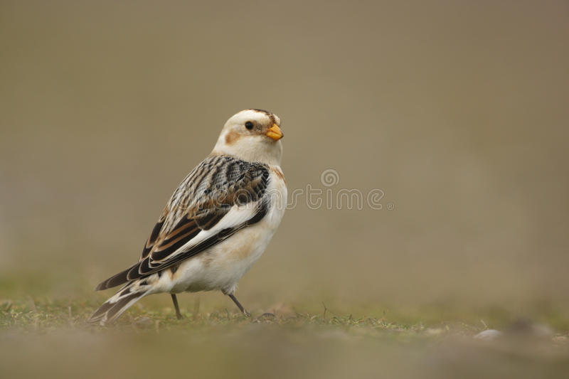 Snow bunting. Plectrophenax nivalis royalty free stock images