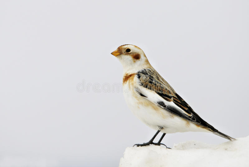 Snow Bunting. (Plectrophenax nivalis) in winter royalty free stock photo