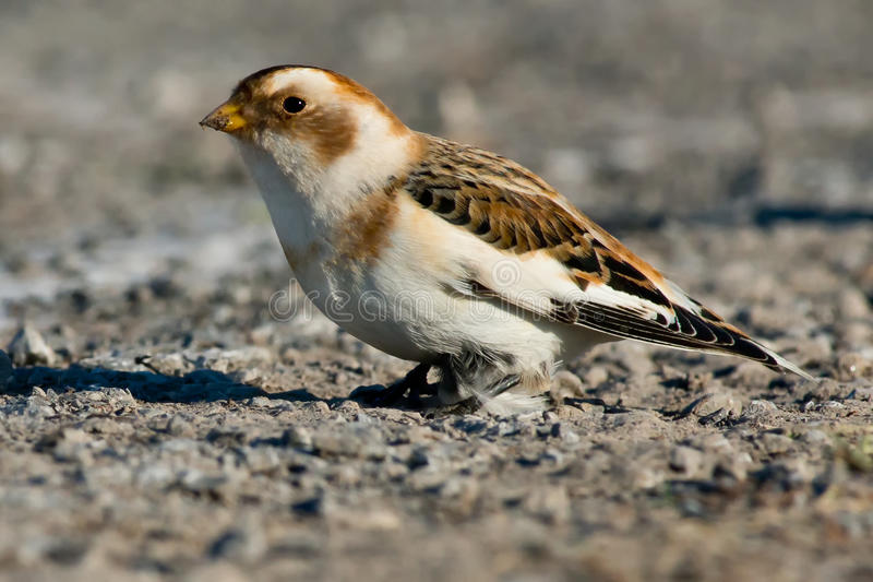 Snow Bunting. Standing on a road stock photos