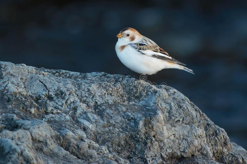 Snow Bunting. Standing on a rock royalty free stock photo