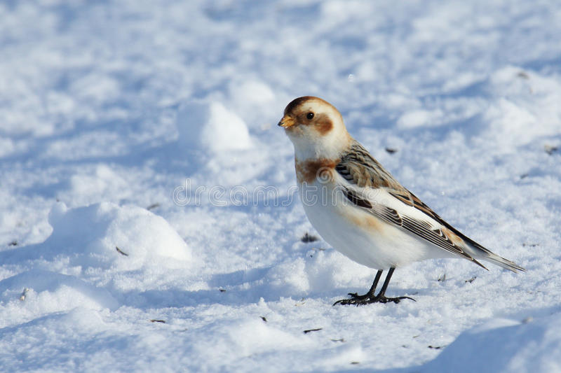 Snow bunting standing on snow. One Snow bunting standing on snow stock photos
